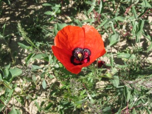 One of the beautiful poppy's dotting the ruins of Sauran