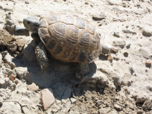 One of the 5 turtles that crossed my path at the ruins.