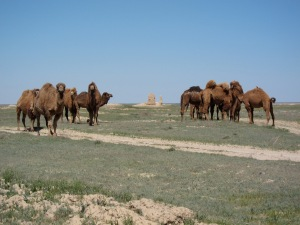 A group of possible feral camels outside the ruins.